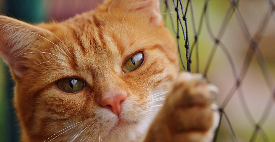 Pisicile si Virusul Imunodeficientei Feline (FIV)