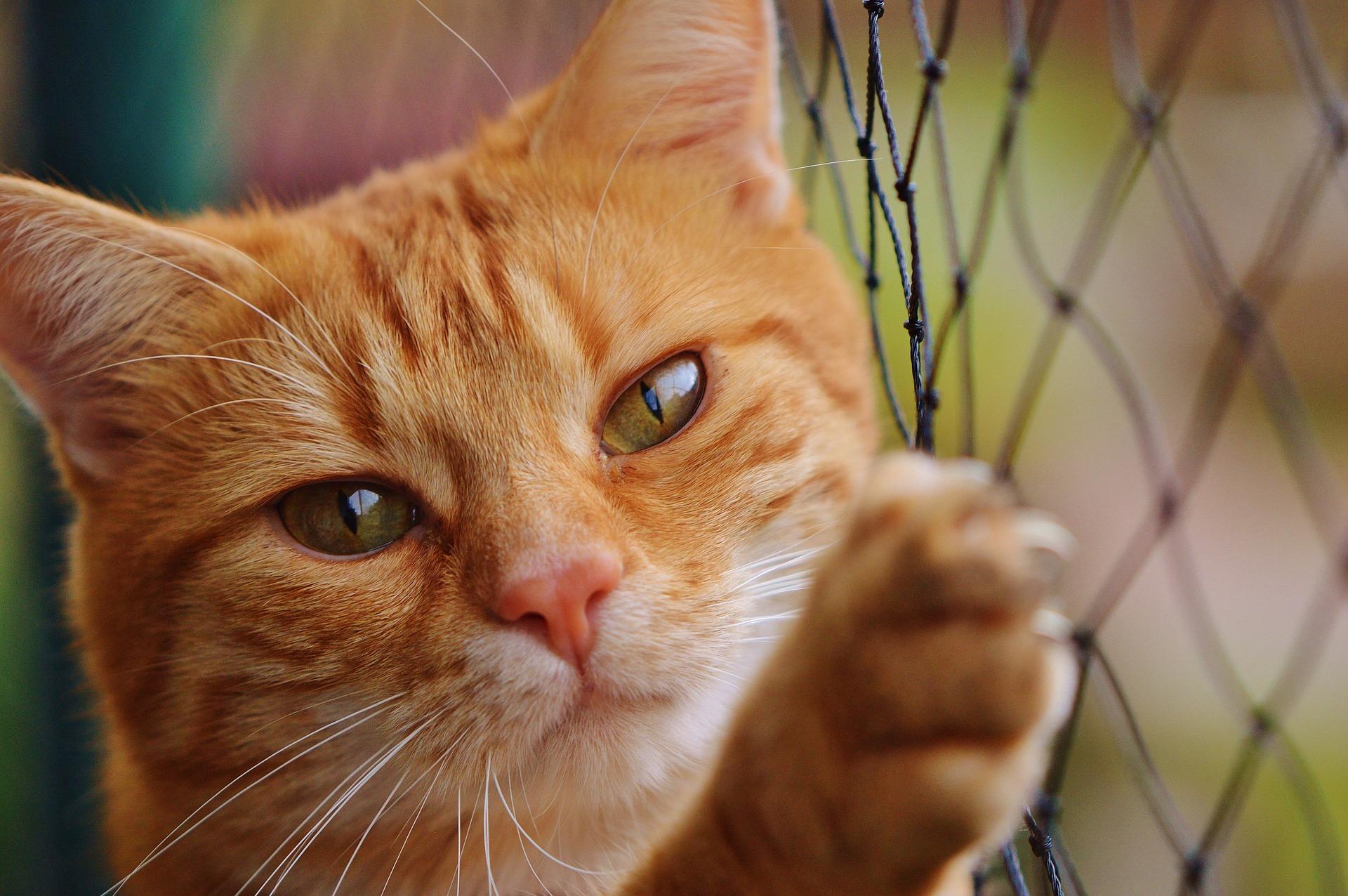 Virusul Imunodeficientei Feline (FIV)