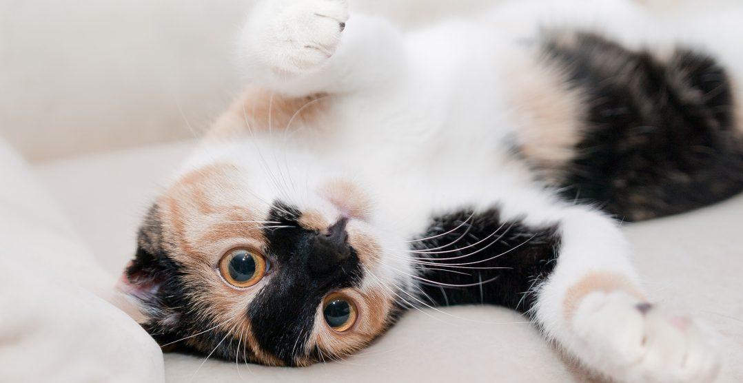 Piometrul la pisici: Cum il diagnosticam si ce e de facut