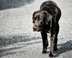 Displazia de sold la caini: Cauze si Simptome