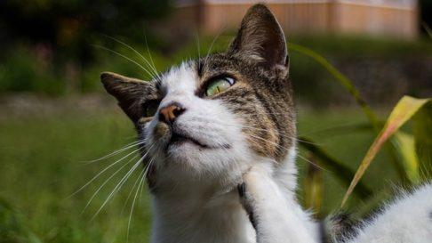 Raia Auriculara La Pisici: Tot ce trebue sa stii despre ea