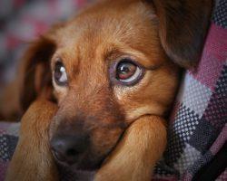 Parvoviroza la Caini: Simptome si Variante de Tratament