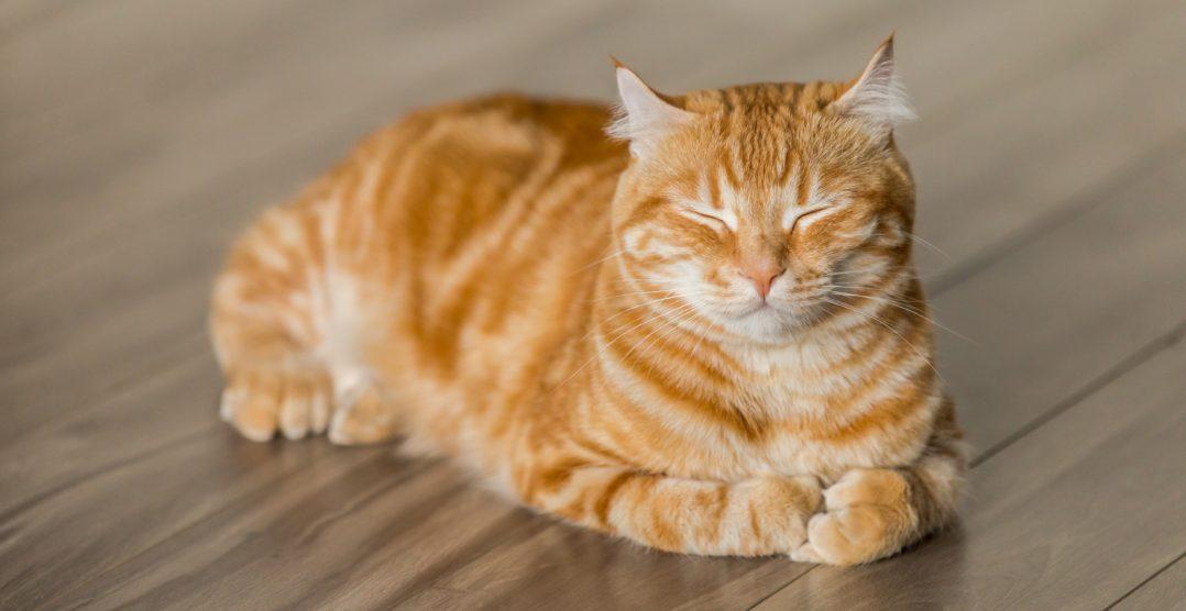 De ce vomita pisicile? Cauze si Tratament