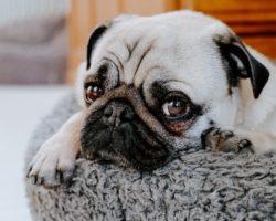 Cherry eye la caini: Hiperplazia sau prolapsul glandei pleoapei a treia