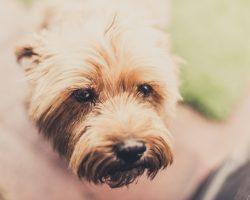 Leptospiroza la caini: Simptome, Tratament si Preventie