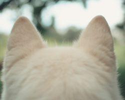 Otita la caini – Cauze si simptome ale otitei externe si medii