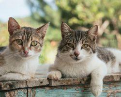 Sterilizarea si castrarea pisicilor: Beneficii si Recomandari