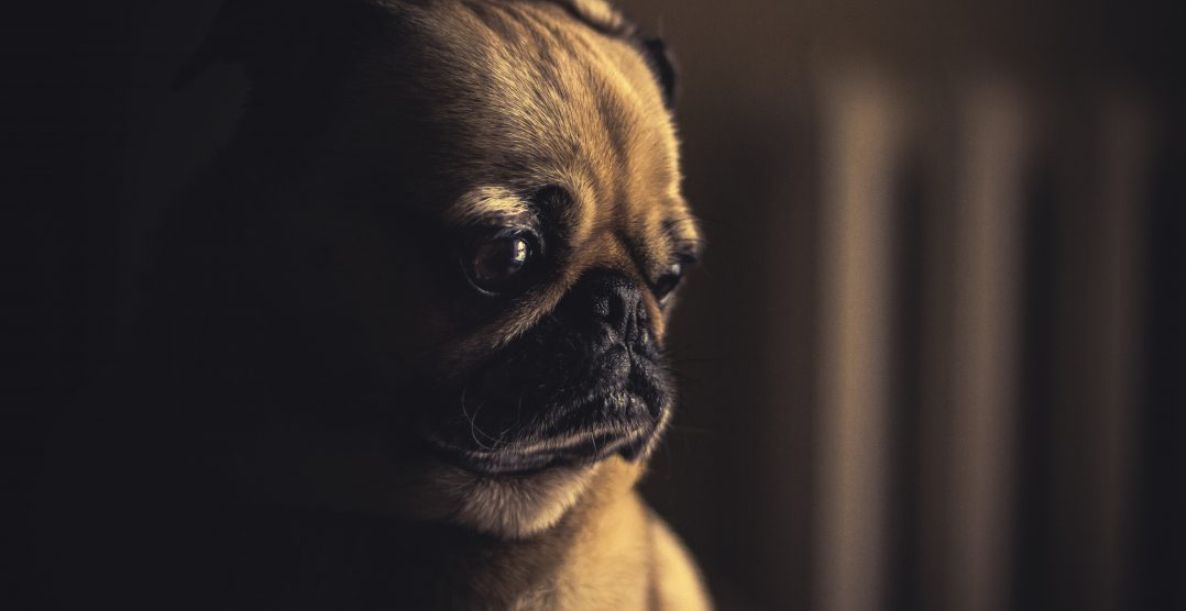 Diabetul la caini: Simptome si tratament