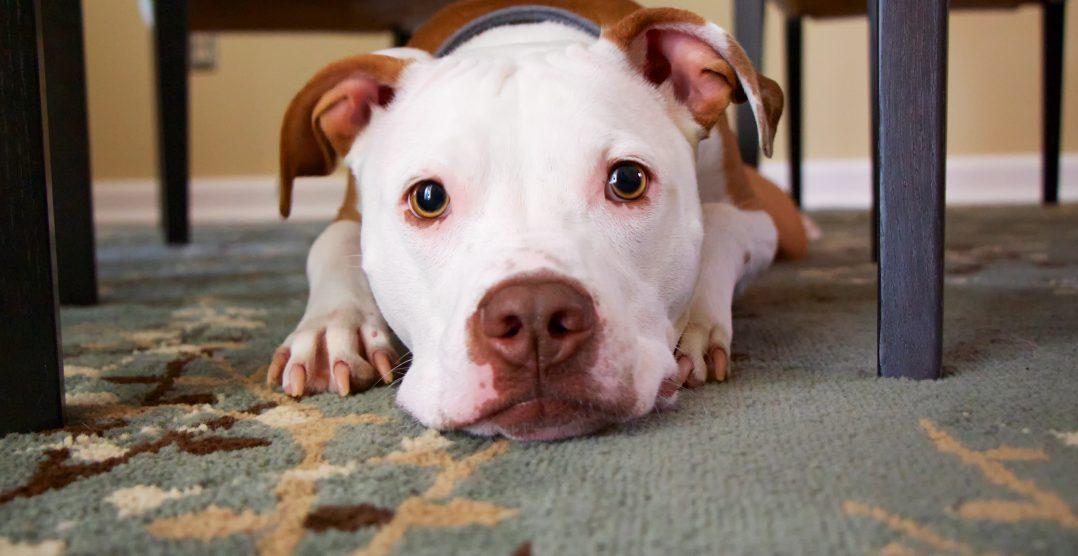Constipatia la caini: Cauze, simptome si metode de tratament