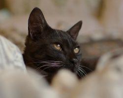 Afectiuni ale urechilor pisicii – Cauze comune ale secretiilor urechii