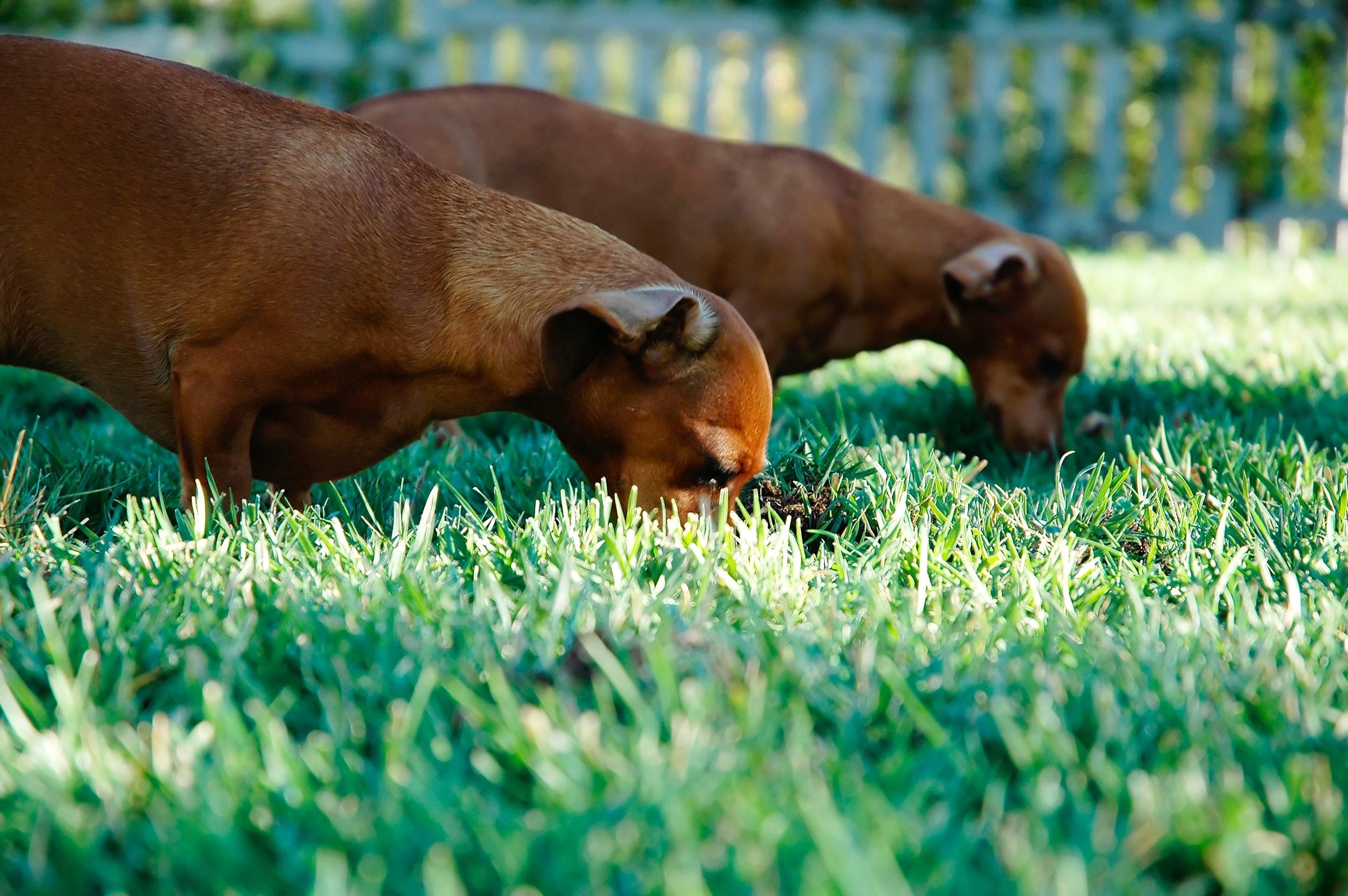 de ce mananca iarba cainele