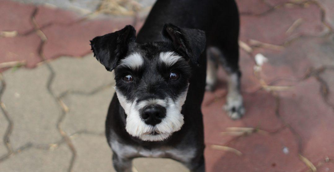 Cataracta la caini: Cauze si Simptome