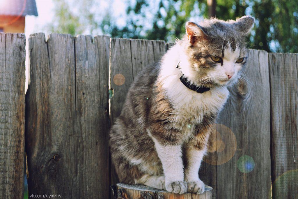 Rinotraheita la pisici