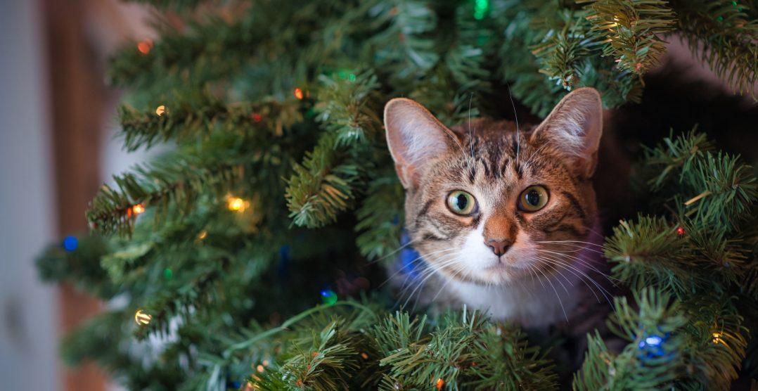 Pisicile si Craciunul: Sfaturi pentru Sarbatori linistite