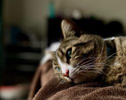 PIF – Peritonita infectioasa felina: Cauze si Simptome