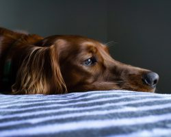 Epilepsia la caini: Cauze si Tratament
