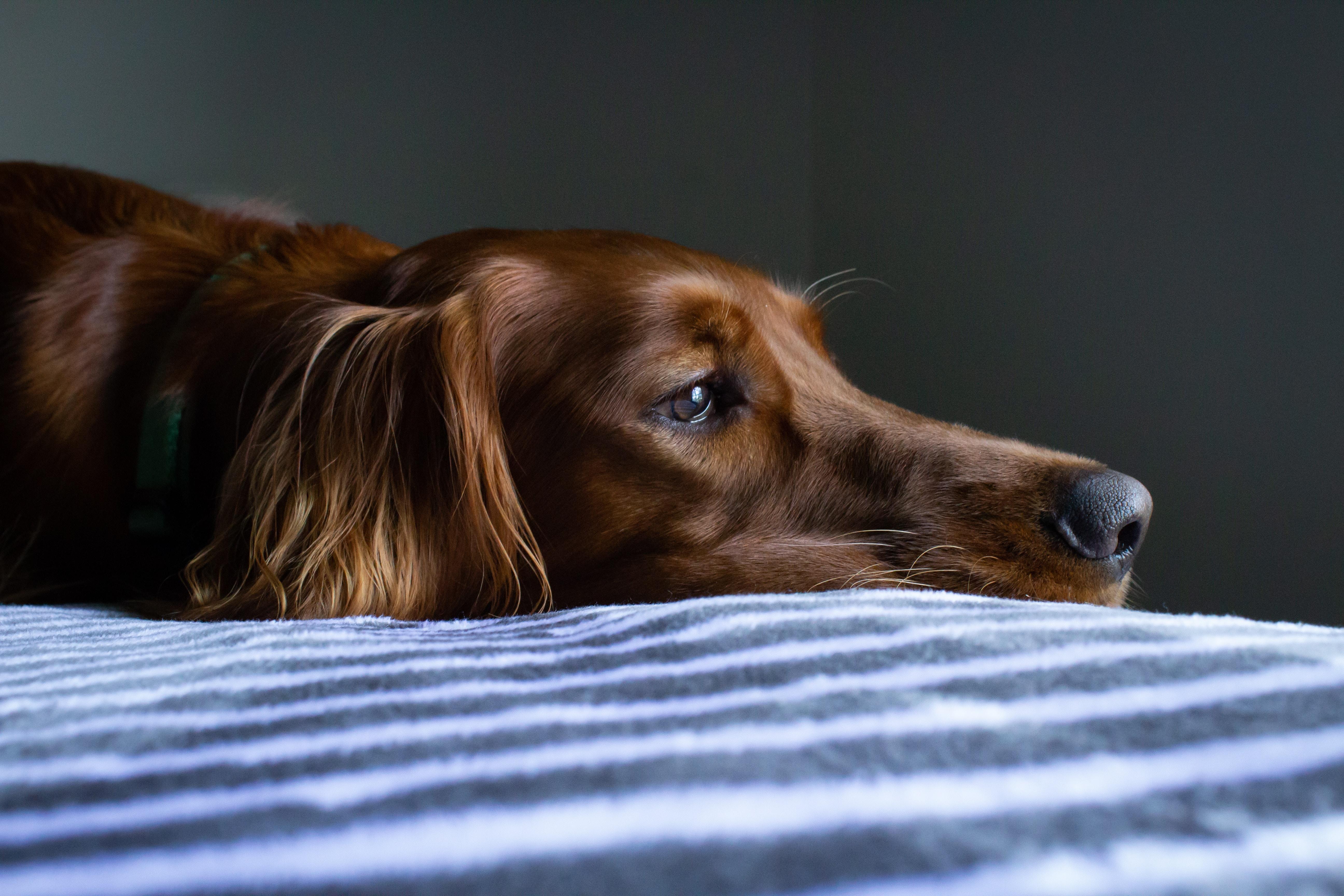 Tratament osteoartrita caini